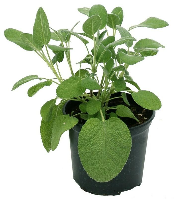 SALVIA FOGLIA LARGA - Salvia officinalis maxima - v14