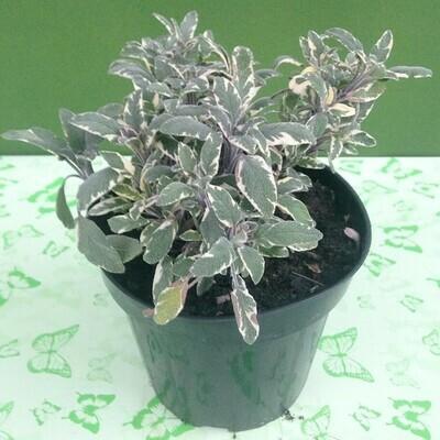 SALVIA FOGLIE VARIEGATE - Salvia officinalis tricolor - v14