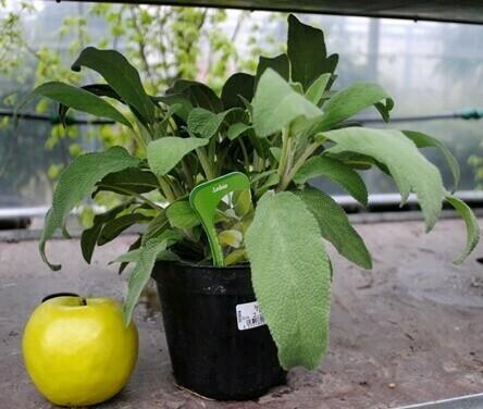 SALVIA LONGIFOLIA - Salvia officinalis longifolia - v14
