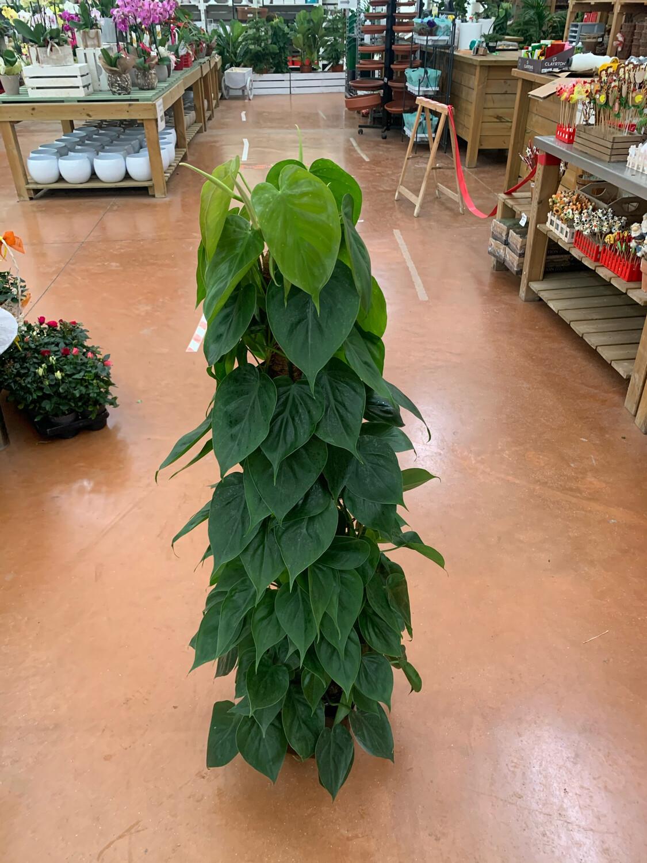 PHILODENDRON SCANDENS 110-120 cm, vaso ø 22 cm