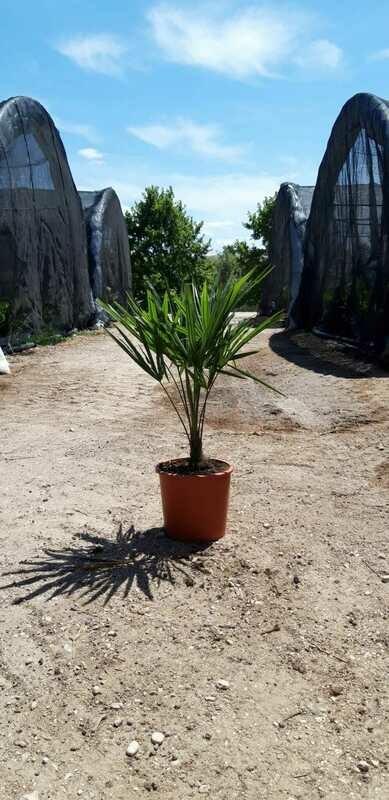 Palma resistente al gelo Trachycarpus Fortunei v22 h 60-70 con foglie ( tronco 20 cm )