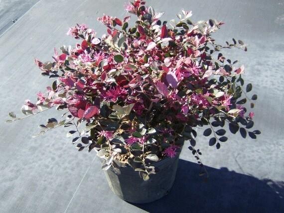 Loropetalum Chinensis vaso 24