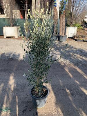 Olivo Cipressino vaso 35cm