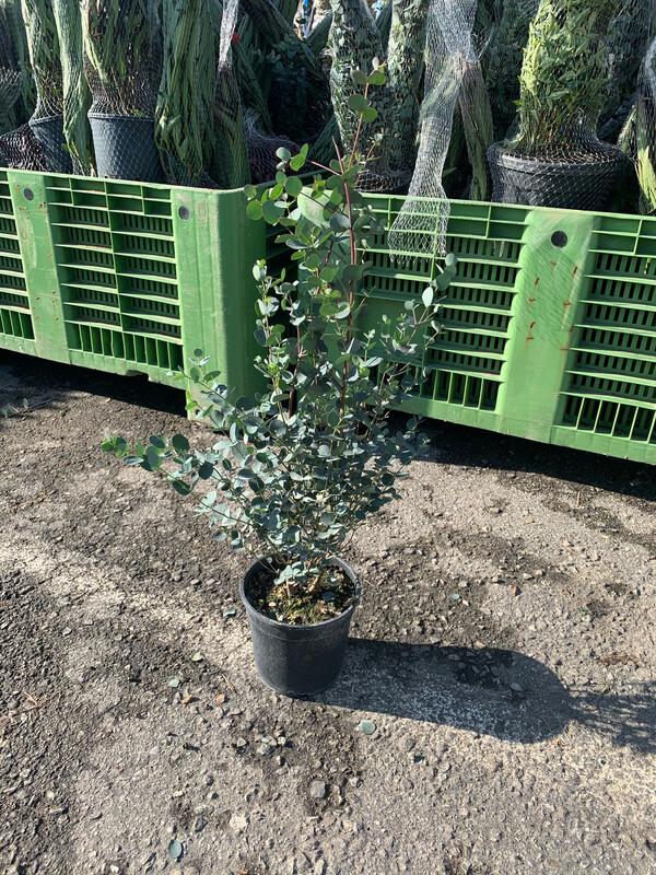 EUCALYPTO GUNNII / EUCALIPTO DEL SIDRO - Eucalyptus gunnii - v18