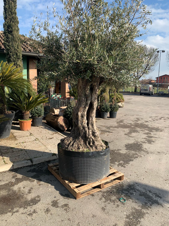 Ulivo Olivo SECOLARE vaso 90-100 40_45