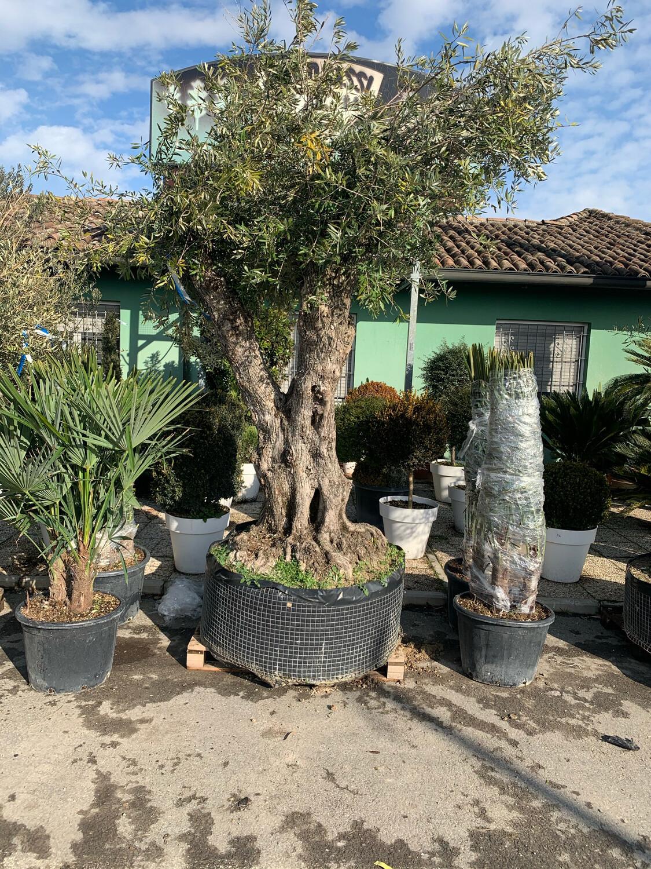 Ulivo Olivo SECOLARE vaso 90-100 40_45 MULTITRONCO