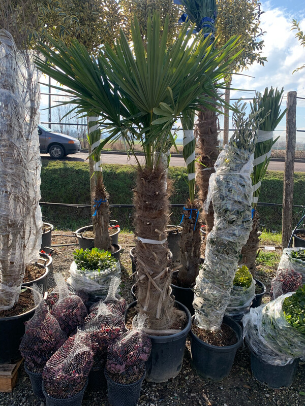 Palma resistente al gelo Trachycarpus Fortunei esemplare  DIVERSE MISURE SELEZIONABILI