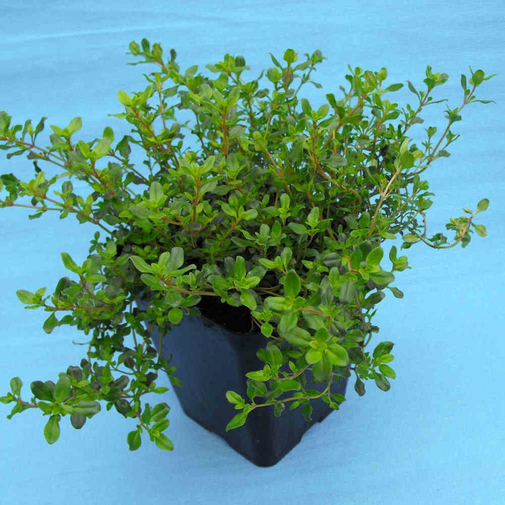 TIMO SERPILLO - Thymus serpyllum - v14