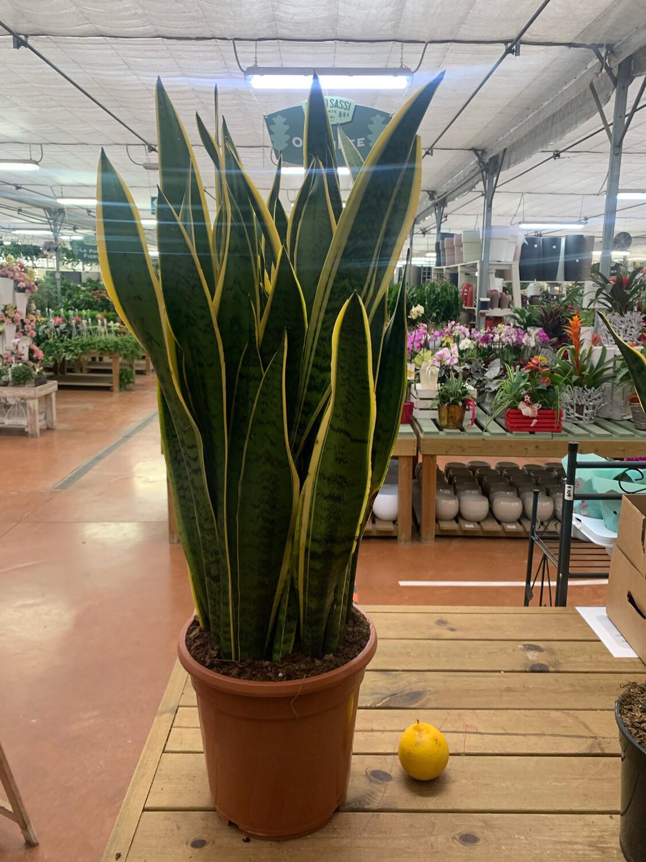 Sanseveria Laurenti vaso 22cm h 75/80