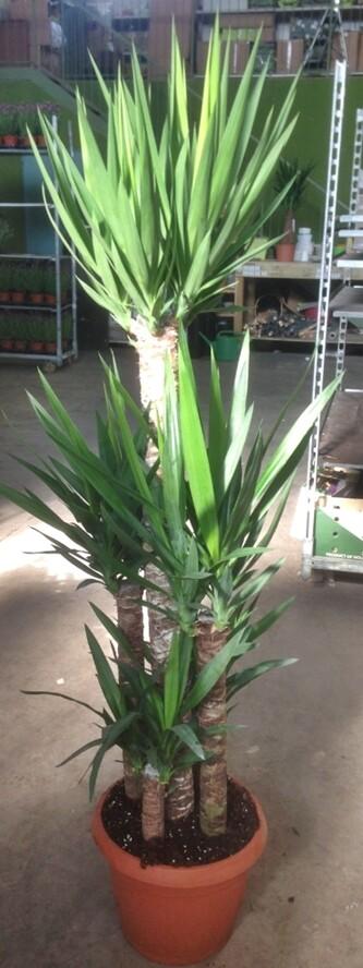 Yucca Tronchetto vaso 27 3 tronco 120/75/30