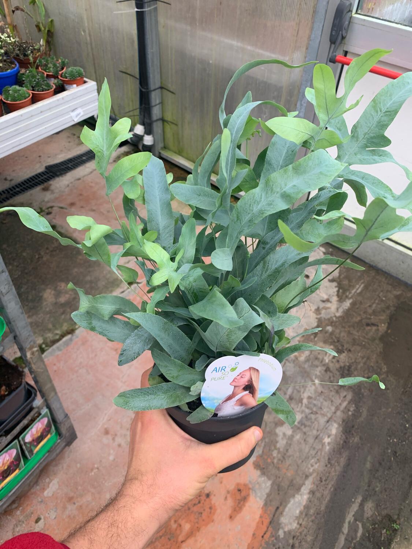 Phlebodium Aureum Blue Star vaso 14 cm