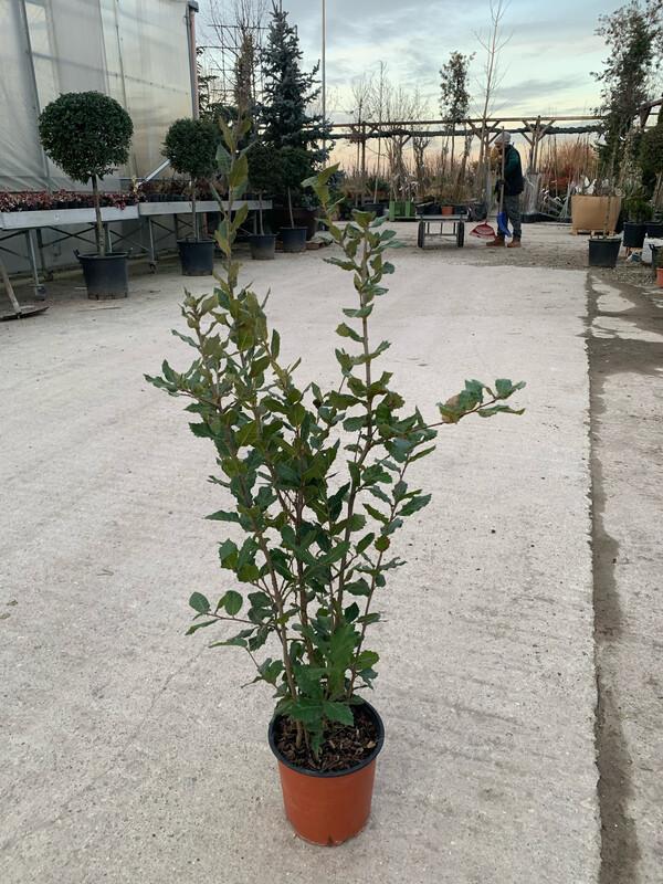 Quercus ilex / Leccio / Elce vaso 18