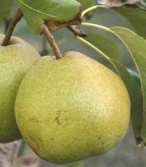 PERO PASSA CRASSANA (frutto antico)
