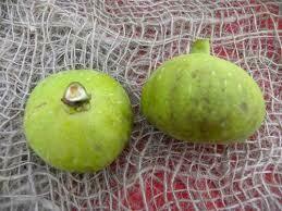 Fico Panino (frutto antico)