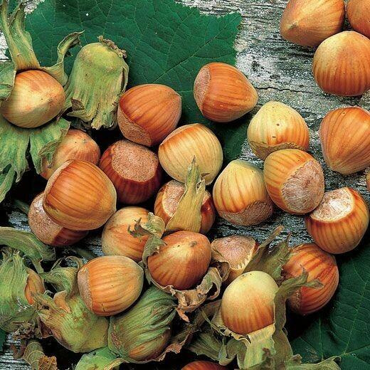 NOCCIOLO vaso 24 Corylus Avellana varietà GENTILE DELLE LANGHE