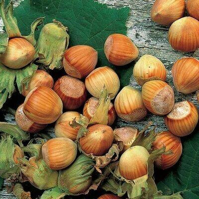 NOCCIOLO vaso 24 Corylus Avellana VARIETA GENTILE DELLE LANGHE