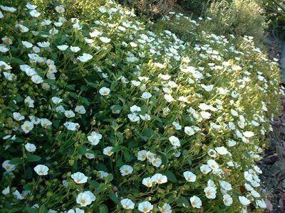 CISTUS FLORENTINUS v15 CISTO ( colore fiore bianco)