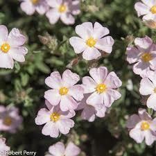 CISTUS skanbergii v15 CISTO (colore fiore rosa chiaro)