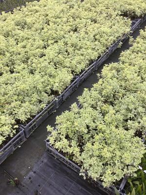 Pittosporo Heterophilla Variegata vaso 8 h 10-12 cm