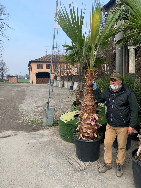Palma resistente al gelo WASHINGTONIA FILIFERA esemplare  DIVERSE MISURE SELEZIONABILI