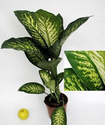 Dieffenbachia Tropic v17