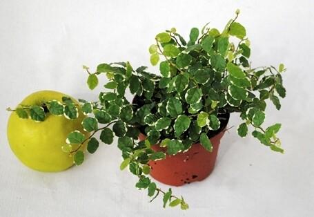 Ficus pumila White Sunny (variegato) vaso 10