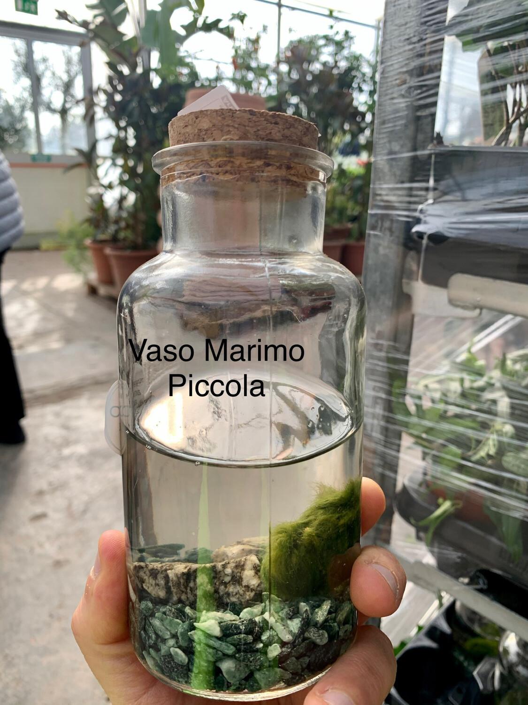 MARIMO-  Aegagropila linnaei - ALGA PALLA tg piccola