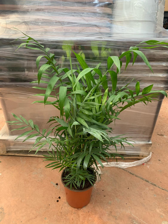 CHAMAEDOREA vaso 17 cm h 60/70