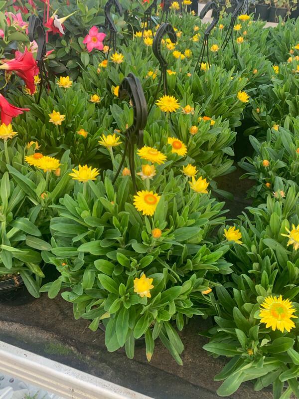 Fiore di Carta. BRACTEANTHA ( Helichrysum Helica ) Bk 20