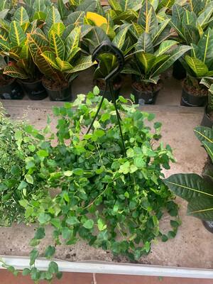Ficus pumila repens verde basket 20