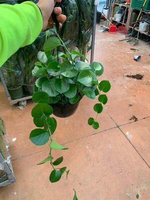 Cissus Rotundifolia basket 20 cm