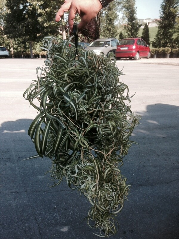 Clorophytum Bonnie  Basket 20 cm