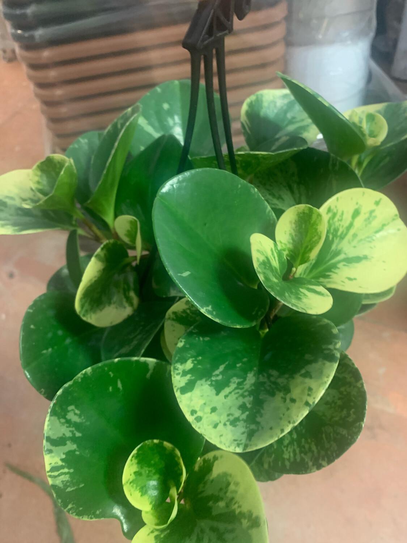 Peperomia Obtusifolia Basket 20 cm