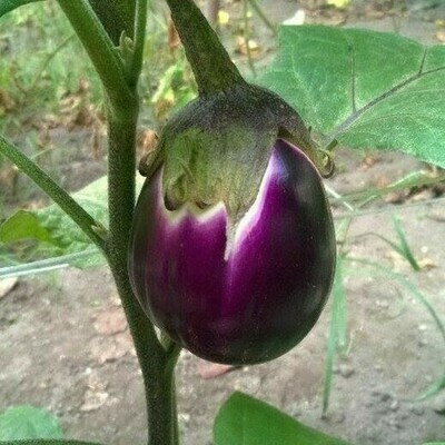 MELANZANA NERA OVALE - Solanum melongena - vaso 14 cm INNESTATO