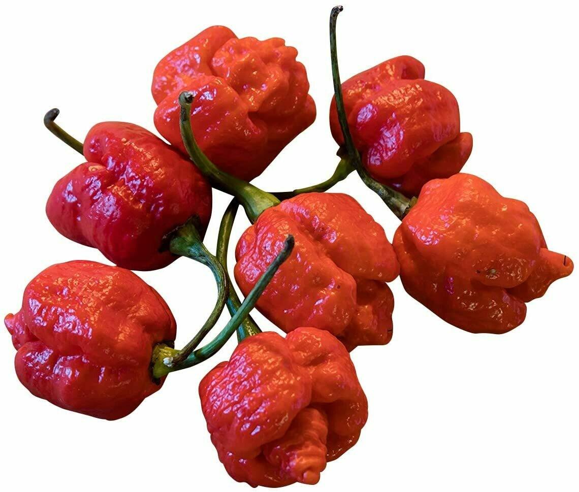 PEPERONCINO TRINIDAD MORUGA RED SCORPION - Capsicum chinense - v14