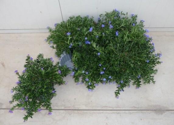 Lithodora vaso 14