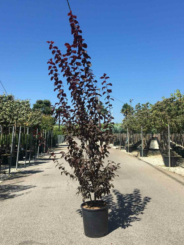 Prunus Pissardi (Ciliegio da fiore o Cagnetto) vaso 30 h 140
