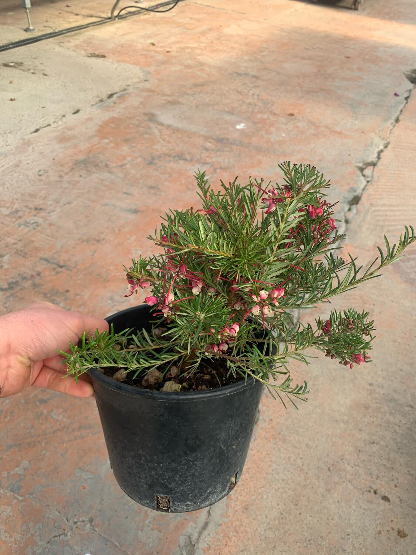 Grevillea Rosmarinifolia vaso 18