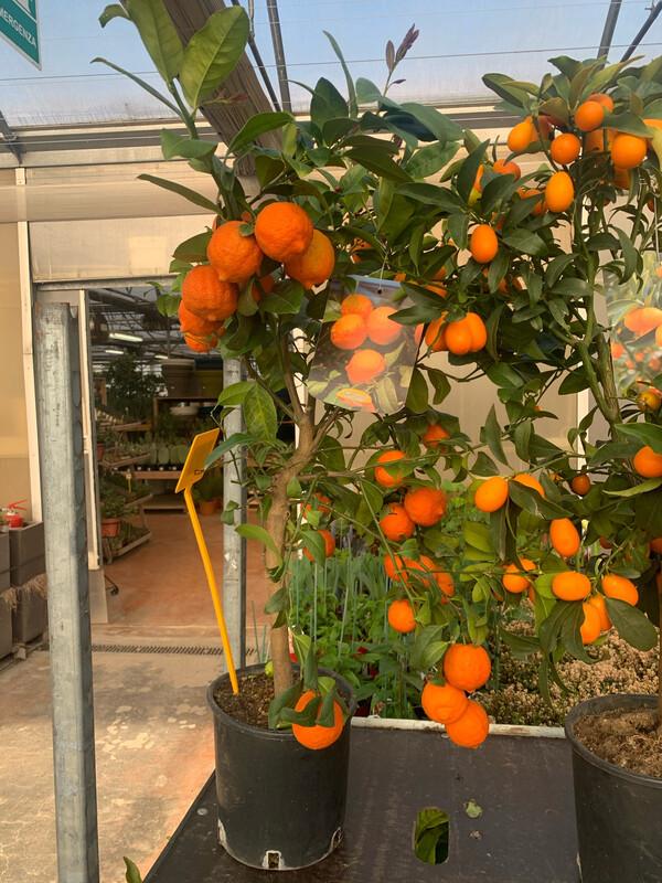 Limetta Rossa Di Rangpur . Citrus Limonia v21