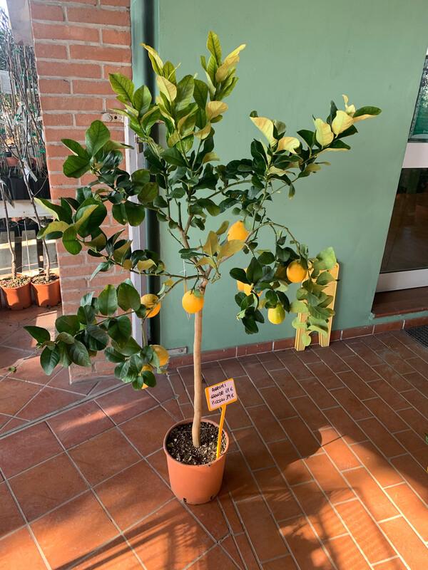 Limone Citrus Limone Limoni v25 h 110