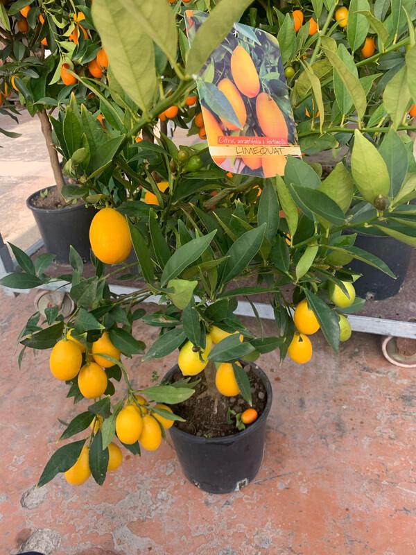 Citrus aurantifolia x fortunella . Limequatv21