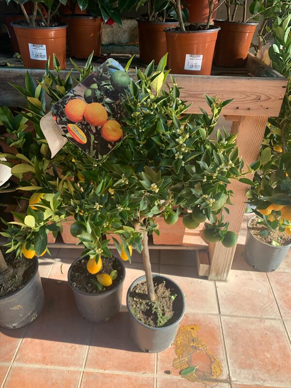 Citrus × myrtifolia . Chinotto v21