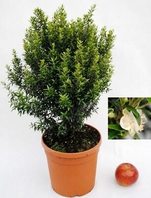 "MIRTO MICROPHYLLA - Myrtus communis ""microphylla"" - v24"