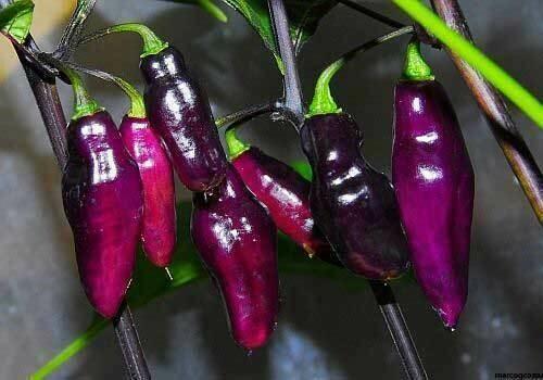 Peperoncino piccante VERY HOT Pimenta Da Neyde - Capsicum chinense - v14