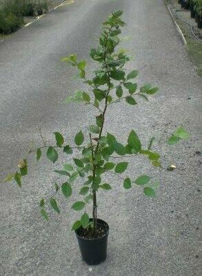 Carpino Carpinus Betulus vaso 17h 100-110