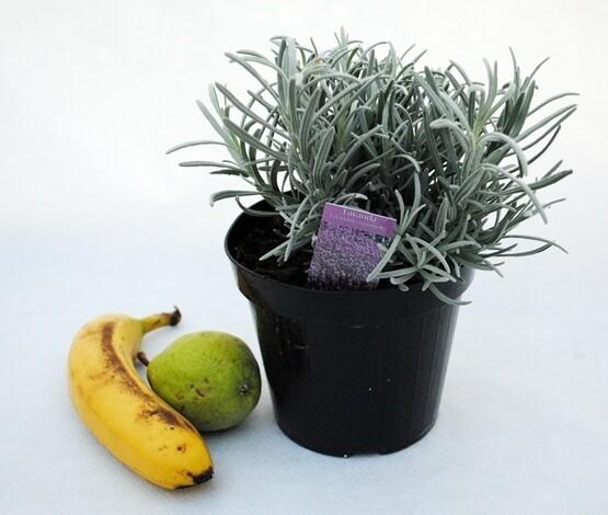 LAVANDA ANGUSTIFOLIA - Lavandula angustifolia - v14