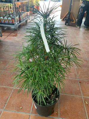 Sciadopitys Verticillata Koyamaki vaso 24 cm