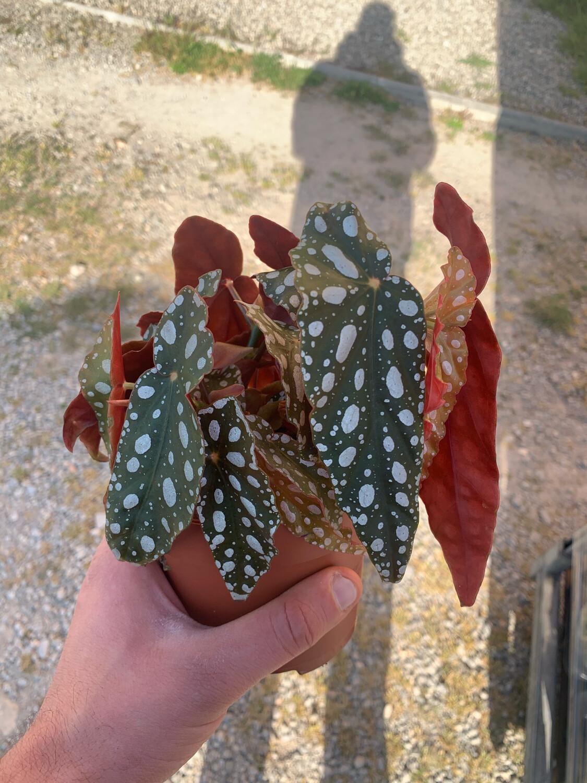 Begonia Maculata  vaso 12