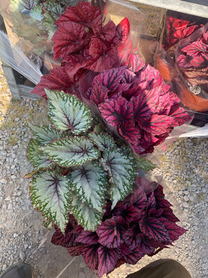 Begonia Rex  vaso 17