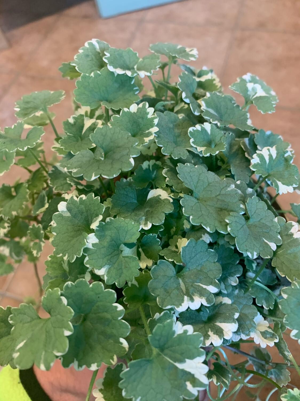 Glecoma Glechoma variegato vaso 12